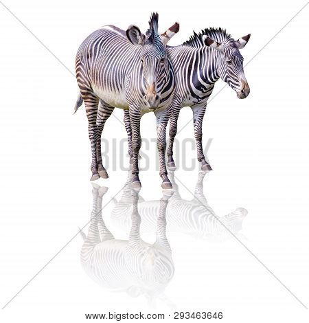 Close Up Photo Of Pair Chapmans Zebras Isolated On The White Background, Equus Quagga Chapmani. Thei