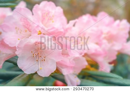 Close-up Of A Blossoming Pink Rhododendron (ericaceae) In Spring. View Of A Flowering Rhododendron H