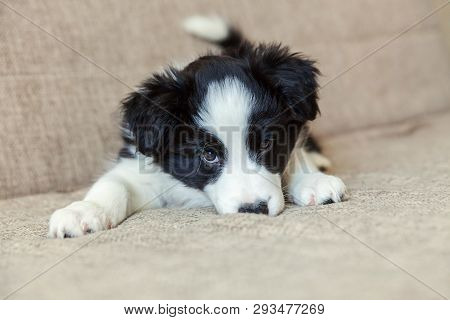 Funny Portrait Of Cute Smilling Puppy Dog Border Collie On Couch. New Lovely Member Of Family Little
