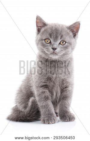 Scottish Straight Kitten. Isolated On A White Background. Funny Gray Kitten