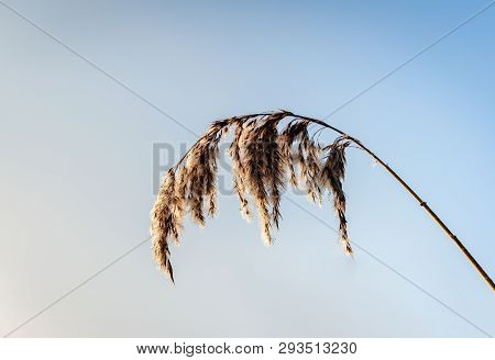 Seed Head Of A Reed Or Phragmites Australis Plant With Many Very Small Dew Drops Against A Blue Sky.