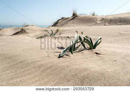 Rippled Sand Dunes With Green Plants Growing On Top On A Sunny Day And A Blue Sky Above. Coastal Lan