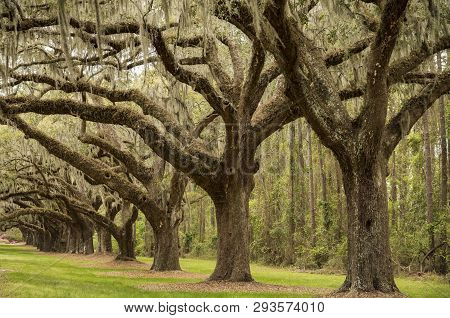 Tree boulevard in the Boone Hill plantation in Charleston SC - USA poster