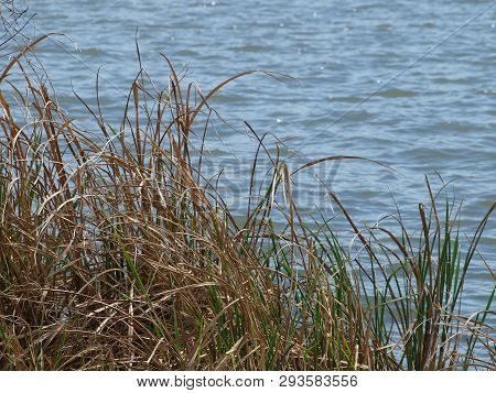 Reeds Planted Along Lake Shore Are Effective Anit-erosion