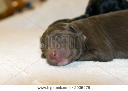 One day old Labrador Puppy