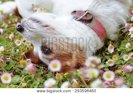 Playful Jack Russell Dog Wallow On Daisy Flowers Field On Spring Season.