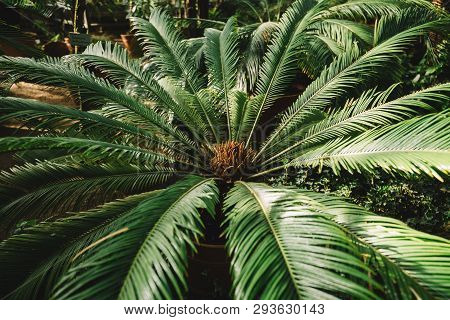 Cropped Photo Of Palm Tree Leaf In Botanical Garden. Attalea Speciosa Green Leaves In Greenhouse, Ba