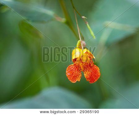 Tiny Orange Jewelweed