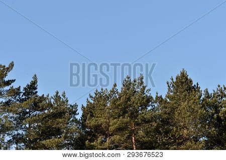 Crones Of Pines Against The Blue Sky. Spring Background