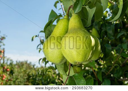 Branch Of Pear Closeup With Ripe Pears Closeup In The Rays Of Sun. Autumn Harvest Concept