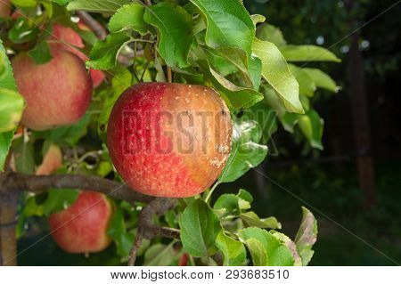 Pear Tree Disease On Leaves And Fruits Close Up. Protection Of Garden Against Fungus