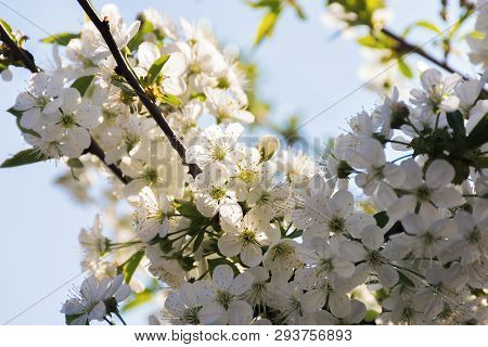 Apple Blossom In The Garden. Beautiful Nature Scenery In Springtime. Blurry Orchard Background. Sunn