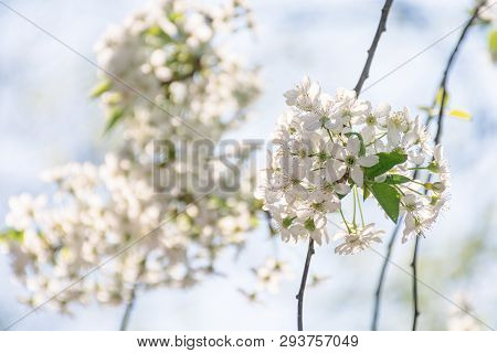 Apple Blossom In The Garden. Beautiful Nature Scene In Springtime. Blooming Twig On A Blurred Blue S