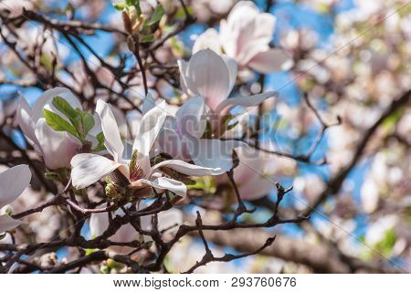 Buds Of White Magnolia Blossom. Branches With Beautiful Tender Flowers. Wonderful Springtime Backgro
