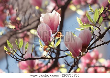 Buds Of Pink Magnolia Blossom. Branches With Beautiful Tender Flowers. Wonderful Springtime Backgrou