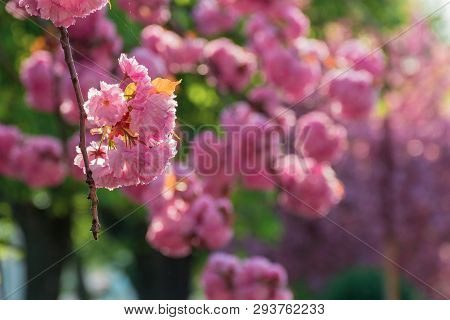 Buds Of Cherry Blossom In Springtime.  Branches With Beautiful Tender Flowers. Wonderful Urban Scene