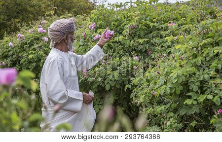 Omani Man With Rose Petals To Make Rose Water That Is Used As Traditional Medicine; Cosmetics; Food