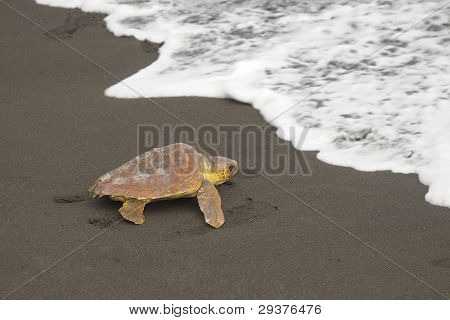 Loggerhead Turtles (caretta caretta)