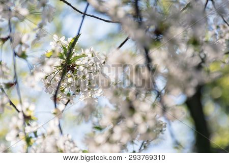 Apple Blossom In The Garden. Beautiful Nature Background In Springtime. Blurry Orchard Foreground. S