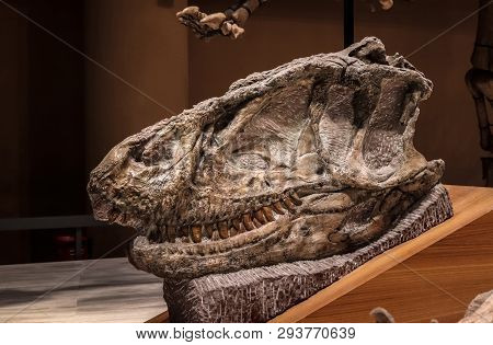 Shanghai, China - April 13 2018, Fossil Of Sinraptor Head Skull At Shanghai Natural History Museum.