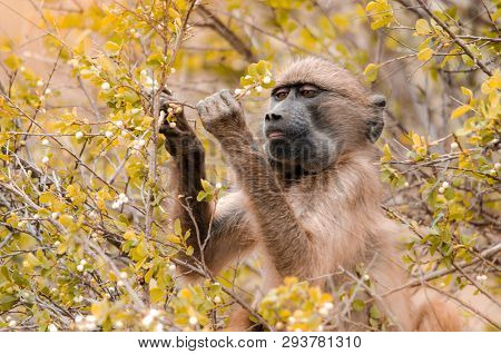 A Cape Baboon (papio Ursinus) Picks At Bushy Leaves In The Kruger National Park, South Africa