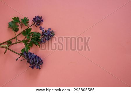Lilac Flower. Flower In Garden At Sunny Summer Or Spring Day. Flower For Postcard Beauty Decoration