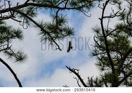 Cloudscape Of An Osprey In Flight Between Two Scrub Pine Trees In A Florida Wetland Woodland.