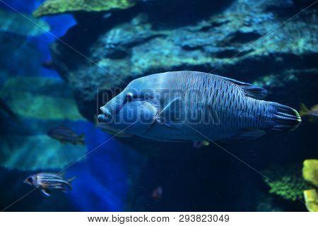 Humphead Maori Wrasse Fish / Napoleon Fish Swimming Marine Life Underwater Ocean - Cheilinus Undulat