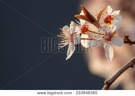 Close-up Of A Plum Blossom In Sunlight