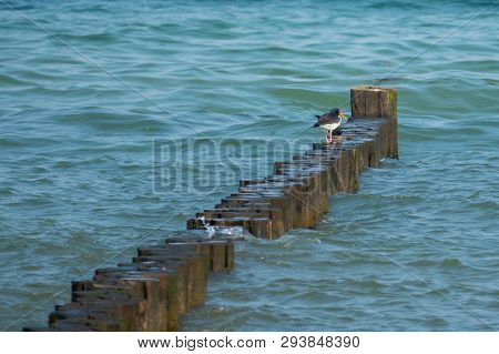 Two Oystercatchers Standing On A Bune In The Baltic Sea