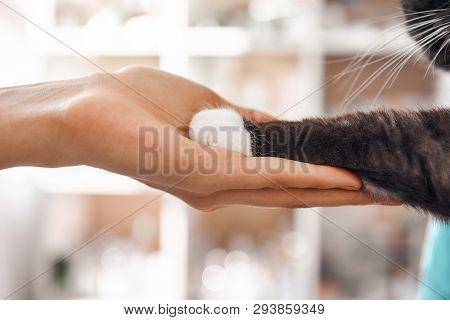 I Am A Friend For My Patient. Close-up Photo Of Female Vet Hand Holding A Paw Of A Black Fluffy Cat