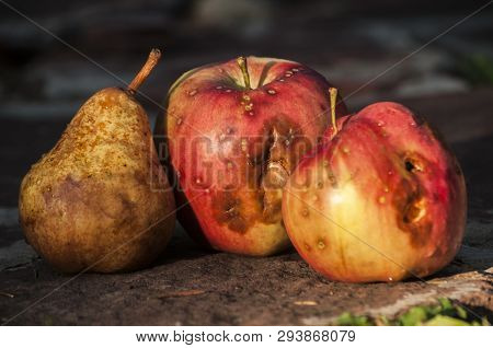 Organic Late Summer Red And Yellow Apple Variety And Russeting Pear Fruit Closeup On Stone Slabs Sur
