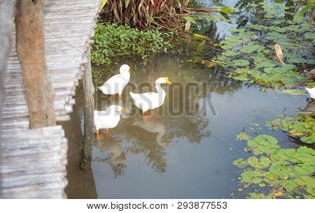 Three White Goose Find Eating In Pond