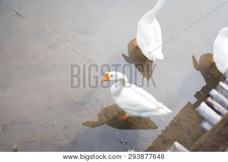 White Goose Find  Fish To Eating In Pond