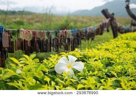 White Frangipani Flower On Line Green Bush