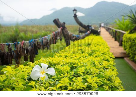 White Frangipani Flower On Bush With Pathway