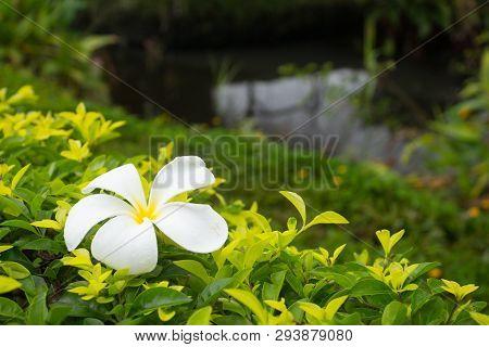 White Frangipani Flower On Bush