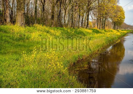 Yellow Rapeseed And Other Herbs Flowering On The Slope Of An Dutch Dike Next To A Ditch In A Polder