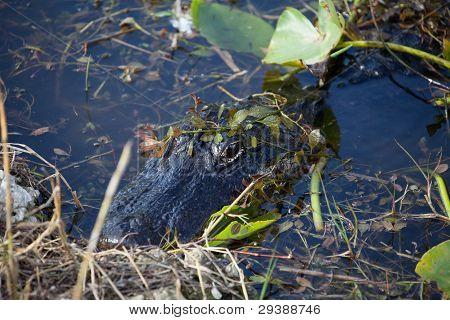 Alligator Hiding