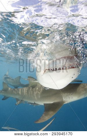 Lemon Shark (negaprion Brevirostris) Showing Teeth, Close-up Split Shot At Surface. Tiger Beach, Bah