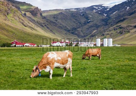 Icelandic rural scene with free range grazing red and white Holstein Friesian breed dairy cattle in a pasture with farm buildings in background, Iceland, Scandinavia