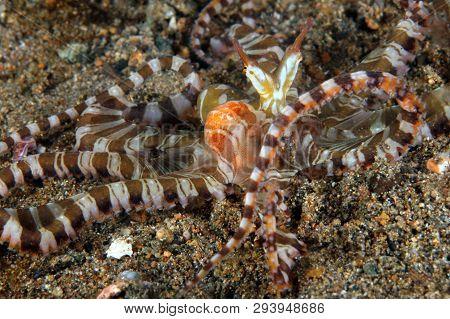 Wonderpus (wunderpus Photogenicus) On Sandy Bottom. Anilao, Philippines