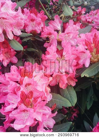 Rhododendron Plants In Bloom With Flowers Azalea Bushes In The Park. Rhododendron Plants In Bloom.