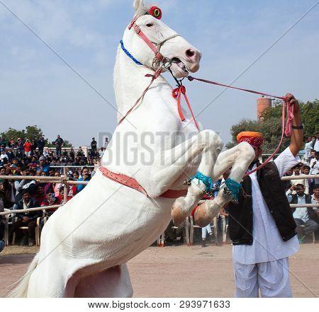 Bikaner, India - January 12, 2019: Marvari White Horse Prances During Camel Fair In Rajasthan State.