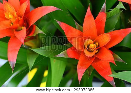 Blooming Guzmania Plant Flower Background Close Up