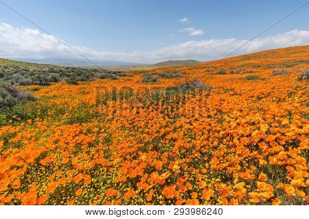 California poppy super bloom wildflower hillside near Lancaster in northern Los Angeles County.