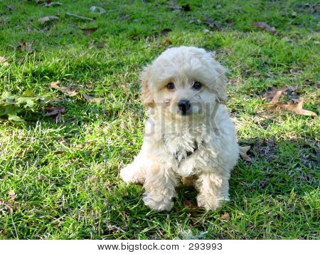Poodle Cudly White