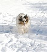 blue merle sheltie fetching the ball through the snow poster
