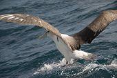 Albatross landing in Cook Strait near Wellington New Zealand poster