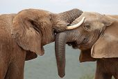 African elephants greeting each other with trunks and mouths touching poster